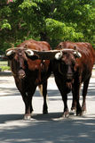 Oxen Royalty Free Stock Images