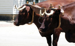 Oxen Stock Photography