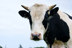 Oxen Royalty Free Stock Photography