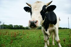 Oxen Royalty Free Stock Image