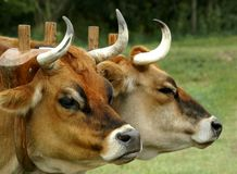 Oxen. A pair of oxen resting after towing a plow royalty free stock image