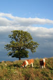 Oxen in Bavaria. Two oxen grazing on a meadow in the Bavarian Alps stock photos