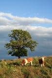 Oxen in Bavaria Stock Photos