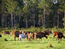 Oxen 2 för Bos för nötköttnötkreatur Arkivbild