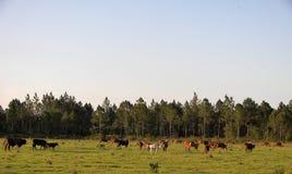 Oxen 3 för Bos för nötköttnötkreatur Fotografering för Bildbyråer