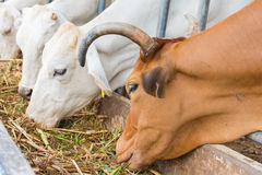 Oxen in the farm. The oxen are eating his food in the farm and they have a beautiful horn Stock Photography