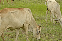 Oxen in the field. Thin oxen with new green grass field Stock Photos