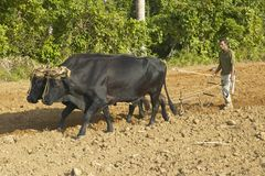 Oxen and man plowing field in the Valle de Vi�ales, in central Cuba Royalty Free Stock Photos