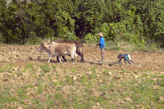 Oxen, man and two black boys plowing field in the Valle de Vi�ales, in central Cuba Stock Photos