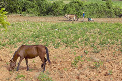Oxen, man and two black boys plowing field in the Valle de Vi�ales, in central Cuba Royalty Free Stock Images