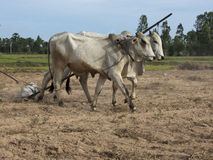 Oxen plowing Cambodia rice paddy Stock Photos