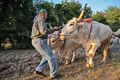 Oxen that pull the plow Stock Image