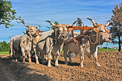 Oxen that pull the plow. Oxen with yoke that pull the plow - old agricultural work with bulls in the countryside of Emilia Romagna, Italy Royalty Free Stock Image