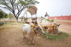The oxen pulling ox cart Stock Photos