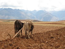 Oxen pulling plow in field. A view of two oxen pulling a primitive plow, turning the soil in a large field in Peru with tall mountains in the background Stock Photos