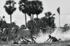 Oxen Race Stock Photography