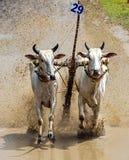 Oxen Race Stock Photos