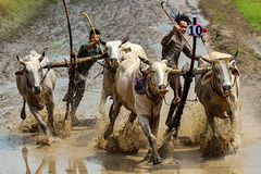 Oxen Race Royalty Free Stock Photo
