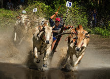Oxen Race Stock Image