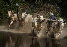 Oxen Race Stock Photo