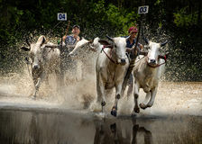 Oxen Race Royalty Free Stock Photography