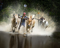 Oxen Race Stock Photo