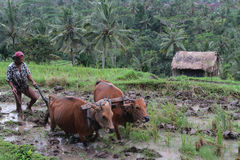 Oxen in the rice fields Stock Photography