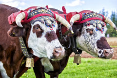 Oxen Team Royalty Free Stock Photography
