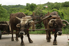 Oxen to cart Royalty Free Stock Images