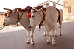Oxen Stock Photo