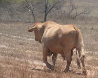 Oxen in Western Australia. Stock Image