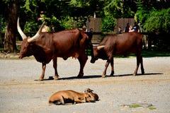 Oxen Stock Photos