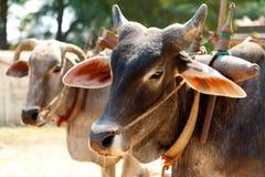 Oxes в Mingun, Мьянме Стоковое Изображение RF