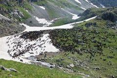 oxes гор одичалые Стоковая Фотография RF