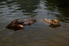 Oxes заплывания Стоковое Фото
