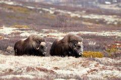 Oxes мускуса на горах Dovrjefell Стоковое фото RF