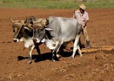 2 oxes связанного хомутом Стоковое Фото