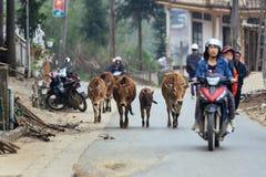 Oxes che cammina sulla strada con la donna che conduce motociclo di estate nel PA del Sa, Vietnam Immagine Stock Libera da Diritti