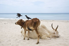 Oxes and crows in Uppuveli beach, Sri Lanka Royalty Free Stock Photo