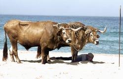 Oxes de descanso e um pescador de sono na praia de Nazare, Estramadura, Portugal foto de stock royalty free