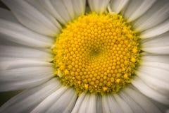Oxeye στενό επάνω macrophotography της Daisy Στοκ Φωτογραφίες