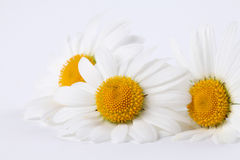 Oxeye daisies Stock Photo