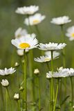 Oxeye daisies. Meadow with flowering oxeye daisies Stock Images