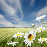 Oxeye Daisies Stock Image