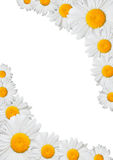 Oxeye Daisies Frame Royalty Free Stock Images