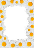 Oxeye Daisies Frame Stock Image