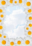 Oxeye Daisies Frame Stock Photography