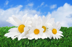 Oxeye daisies on the grass Royalty Free Stock Photos