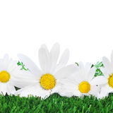 Oxeye daisies on the grass Royalty Free Stock Photo