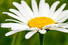 Oxeye Daisies Growing in Meadow Stock Image